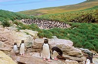 Southern Rockhopper Penguins / Eudyptes chrysocome