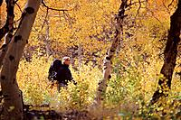 A woman hiking through yellow aspen trees near South Lake California