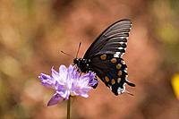 A butterfly on a Penstemon flower in the Sierra foothills near Auburn California