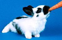 Oryctolagus cuniculus f  domestica, domestic rabbit