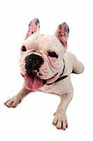Bouledogue franþais, Canis lupus f  familiaris, French Bulldog