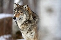 Eastern timber wolf, Canis lupus lycaon, close_up