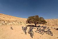 Israel Acacia tree in the Negev desert