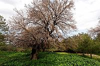 Israel Menashe Heights Mount Tabor Oak Qyercus Ithaburensis tree in Tel Alonim