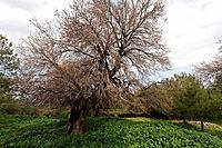 Israel Menashe Heights Mount Tabor Oak Qyercus Ithaburensis tree in Tel Alonim