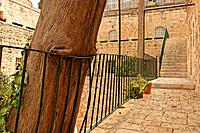 Israel Jerusalem Cypress tree in the Monastery of the Cross
