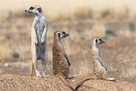 suricate, Suricata suricatta, group, three, blur, Africa, southwest_Africa, Namibia, Kalahari, Keetmanshoop, Wildlife, animals, wild animals, mammals,...