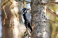 Three-toed Woodpecker (Picoides tridactylus). Sweden