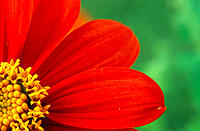 Mexican Sunflower (Tithonia sp.), detail