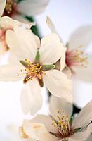 Almond flowers (Amygdalus communis)