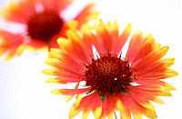Blanketflower (Gaillardia hybr.)