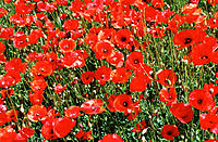 Flanders Poppies (Papaver rhoeas)