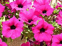 Petunias (Petunia sp.)