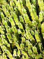 Resin Spurge (Euphorbia resinifera)