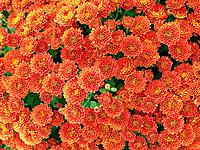 Chrysanthemum Chrysanthemum hybr