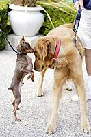 Small dachshund greets big dog in park