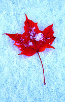 Maple leaf on snowy background
