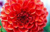 Close-up of red Dahlia flower