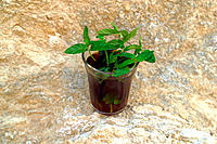Mint plant. Tunisia