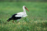 White Stork (Ciconia ciconia). Germany