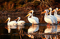 Lake of the Woods - Pelicans