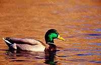 Mallard (Anas platyrhynchos), male with breeding plumage. California. USA