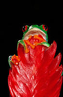 Red-eyed tree frog (Agalychnis callidryas), captive. Central America