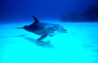 Bottlenose Dolphin (Tursiops truncatus). Bahamas