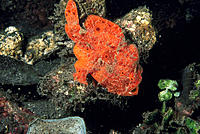 Commerson´s Frogfish (Antennarius commersoni). Indonesia