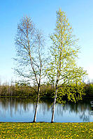Spring: two birch trees next to pond