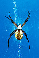 Spider (Argiope sp.)