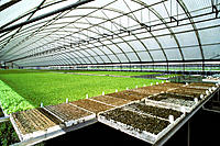 Lettuce seedlings grown in a greenhouse prior to planting
