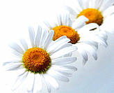 Three Oxeye Daisies (Leucanthemum vulgare)