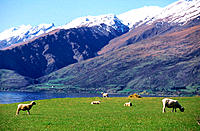 Sheep grazing. South Island. New Zealand
