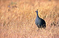 Helmeted Guineafowl. Etosha National Park, Namibia