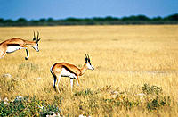 Springbok (Antidorcas marsupialis) running. Etosha National Park, Namibia