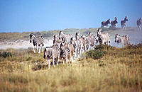 Burchell's Zebra (Equus burchelli), herd running for the waterhole. Etosha National Park, Namibia