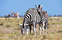 Burchell´s Zebra (Equus burchelli), female with young. Etosha National Park, Namibia