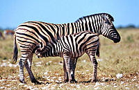 Burchell's Zebra (Equus burchelli), female suckling young. Etosha National Park, Namibia