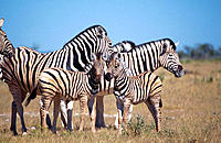 Burchell's Zebra (Equus burchelli), herd with foles. Etosha National Park, Namibia