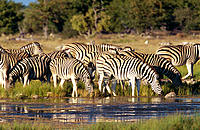 Burchell's Zebra (Equus burchelli) drinking at waterhole. Etosha National Park, Namibia