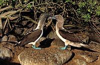 Equador, Galapagos Islands, Blue_footed Booby, Sula nebouxii, two birds, bird, wildlife, animal, animals, fauna, natur