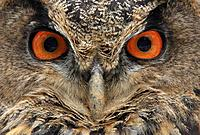 Bubo bubo, Eurasian eagle owl, Portrait, Bavarian Forest, national park, Bavaria, Germany, Europe, face, bird of prey,