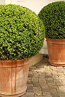 Boxwood in flower tubs