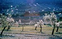 Landscape with blooming almond trees