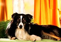 Border Collie _ lying