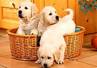 three Golden Retriever puppies in basket