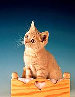 British shorthair kitten _ sitting in dolls bed