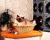 Sacred cat of Burma _ lying in basket next to tiled stove