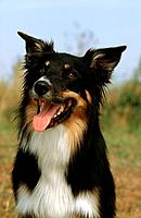 Border Collie _ portrait